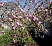 magnoliowy drzewo Fotografia Royalty Free