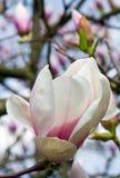 magnoliowy drzewo Zdjęcia Stock