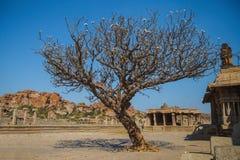 Magnoliowy drzewo w Hampi, Karnataka Obrazy Stock