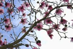 Magnoliowy drzewo w kwiacie Obrazy Royalty Free