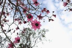 Magnoliowy drzewo w kwiacie przeciw wiosny niebu Obraz Royalty Free