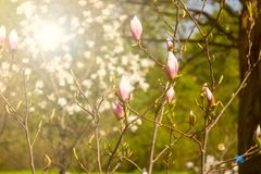 Magnoliowy drzewo z kwiatów pączkami Kwitnąć w wiośnie Fotografia Royalty Free