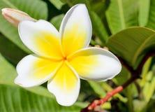 Magnoliowy kwiat. Zdjęcie Stock