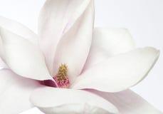 Magnoliowy kwiat Zdjęcia Royalty Free
