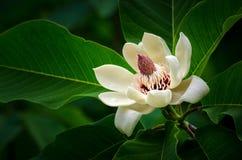 Magnoliowy kwiat Fotografia Royalty Free