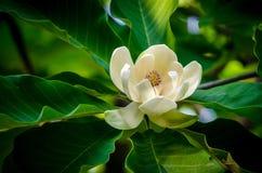 Magnoliowy kwiat Obrazy Stock