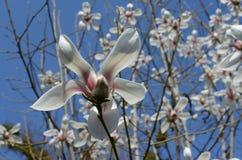 Magnoliowy kwiat makro- zdjęcie royalty free