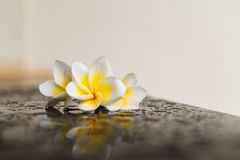 Magnoliowy kwiat na czarnym tle Obraz Stock