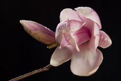 Magnoliowy kwiat zakrywający kropelki na czarnym tle Zdjęcia Royalty Free