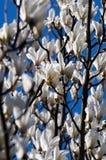 magnoliowy kwiatu biel Fotografia Stock