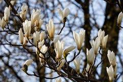 magnoliowy kwiatu biel Obraz Stock