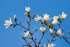 magnoliowy kwiatu biel Zdjęcie Stock
