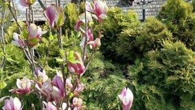Magnoliowy kwitnienie w ?wietle s?onecznym wiosna - zdjęcie wideo