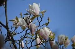Magnoliowy liliflora kwitnie drzewa zdjęcia royalty free