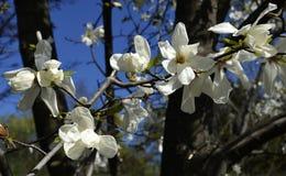 Magnoliowy obovata kwitnie w Gryshko Krajowym ogródzie botanicznym w Kyiv, Ukraina Obraz Royalty Free