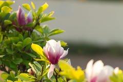Magnoliowy okwitnięcie Zdjęcia Stock