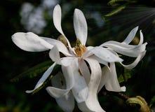 Magnoliowy okwitnięcie Obrazy Royalty Free
