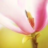 Magnoliowy płatka tło Fotografia Royalty Free