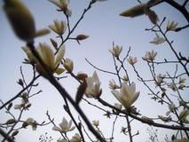 Magnoliowy quinquepeta Zdjęcia Stock