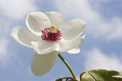 Magnoliowy siboldii Zdjęcie Stock