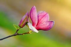 Magnoliowy soulangeana Obraz Royalty Free