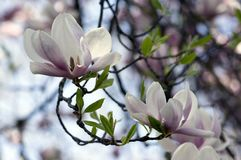 Magnoliowy soulangeana także dzwonił spodeczek magnolii kwiatonośny wiosny drzewo z pięknym różowym białym kwiatem na gałąź zdjęcie royalty free