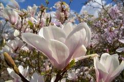magnoliowy soulangeana x zdjęcie stock