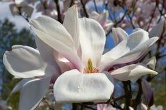 magnoliowy soulangeana x zdjęcia royalty free