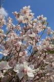 magnoliowy soulangeana x obrazy royalty free
