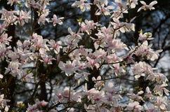 magnoliowy soulangeana x fotografia stock