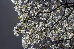 Magnoliowy stellata Zdjęcie Royalty Free