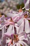 Magnoliowy stellata fotografia royalty free