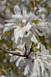 Magnoliowy stellata zdjęcia royalty free