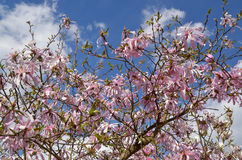 Magnoliowy stellata obrazy stock