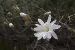 Magnoliowy stellata, biały Obrazy Stock