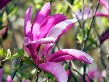 Magnoliowy 'Susan' Zdjęcia Stock