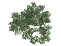 magnoliowy sweetbay virginiana Zdjęcia Royalty Free