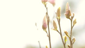 Magnololia en de lente Duitsland stock video