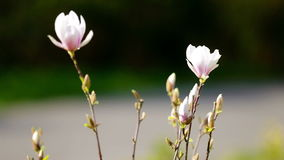 Magnololia en de lente Duitsland stock footage