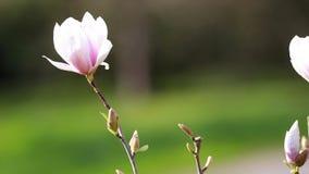 Magnololia en de lente Duitsland stock videobeelden