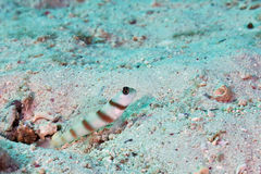 Magnus prawn-goby Stock Photography