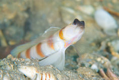 Magnus' shrimp goby Royalty Free Stock Photography