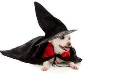 Mago asustadizo o perro travieso de la bruja Fotos de archivo libres de regalías