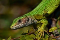 Mago del lagarto Foto de archivo