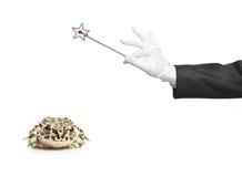 Mago que sostiene una varita mágica y una rana Foto de archivo libre de regalías