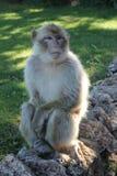 Magot猴子 免版税库存图片