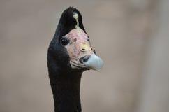 magpie гусыни Стоковые Фотографии RF