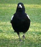magpie животных Стоковые Изображения