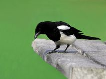 Magpie Stock Photos