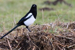 Magpie. These birds are there when something needs to be cleaned up Stock Photo